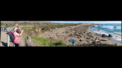Elephant Seals (Pacific Coast)