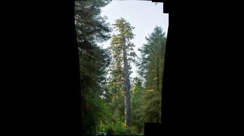 Big Sitka Spruce HDR