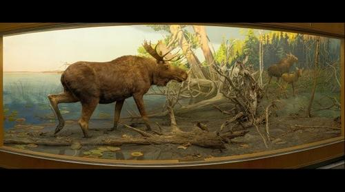 Moose, Bell Museum of Natural History, University of Minnesota