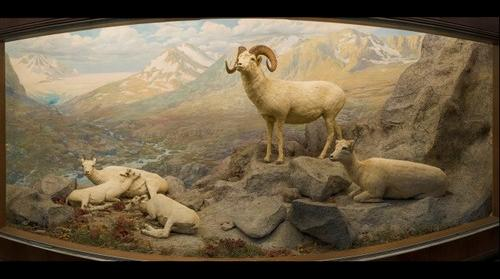 Dall's Sheep, Bell Museum of Natural History, University of Minnesota