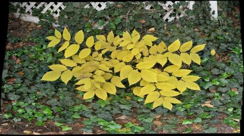 14-10-23 Walnut Ivy