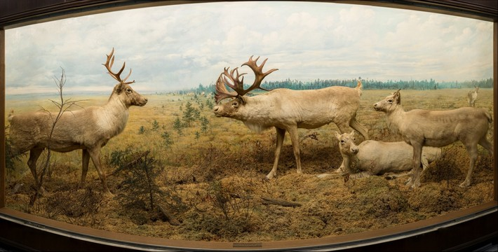 Caribou, Bell Museum of Natural History, University of Minnesota