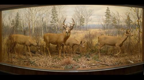 Whitetail Deer, Bell Museum of Natural History, University of Minnesota