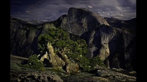 Lone Western Juniper, Yosemite