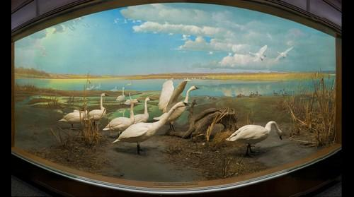 Tundra Swans, Bell Museum of Natural History, University of Minnesota