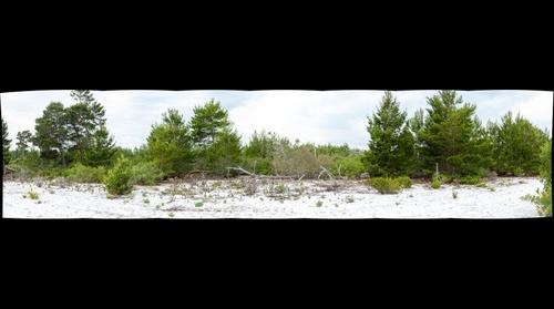 Sand Pine Scrub 2