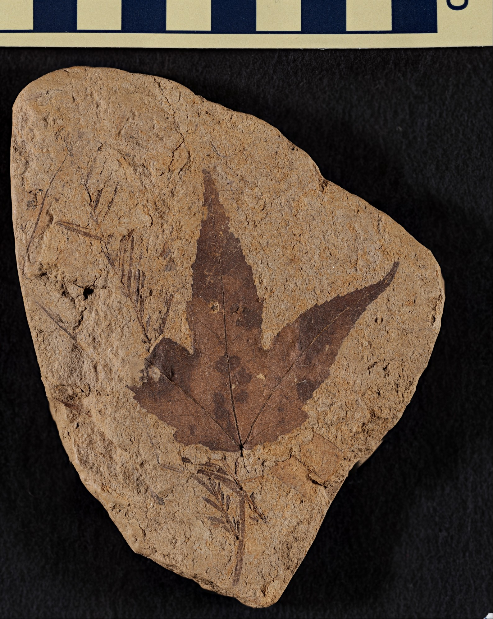 Fossil Acer dacycarpoides