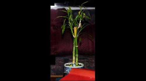 ''Lucky bamboo'' plant