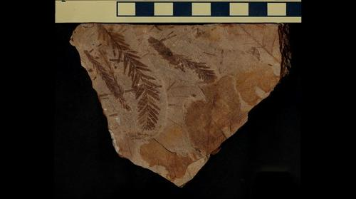 Fossil Metasequoia and Angiosperm