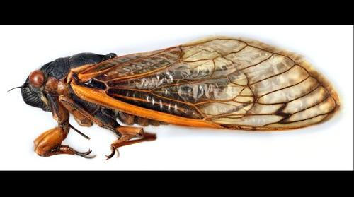 Cicada Male Side View