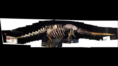 Titanosaurus AMNH