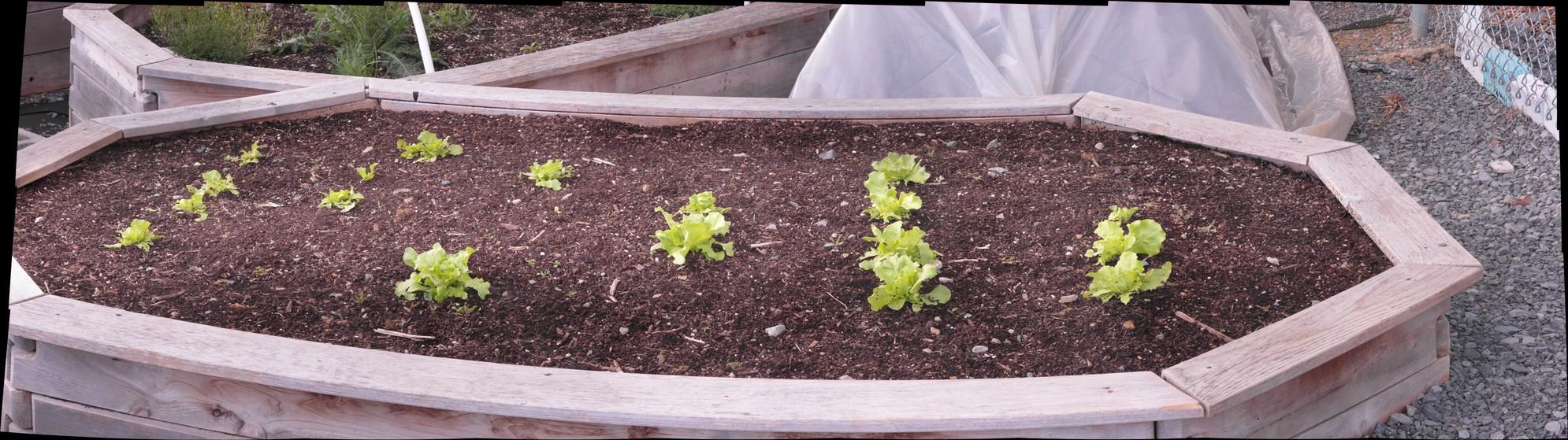 Nancy Butterhead Lettuce 4-29-16