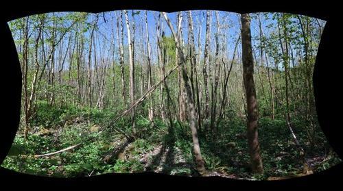 Fraxinus excelsior near Manternach.lu