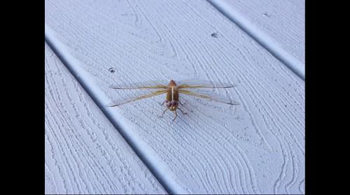 Dragonfly in Arizona
