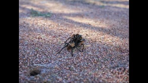 Tarantula Mating Ritual