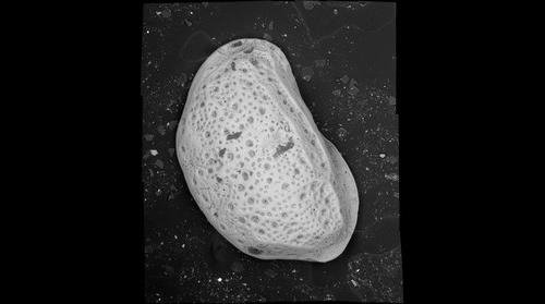 Ostracode from St. Ninian's Isle Tombolo, Scotland