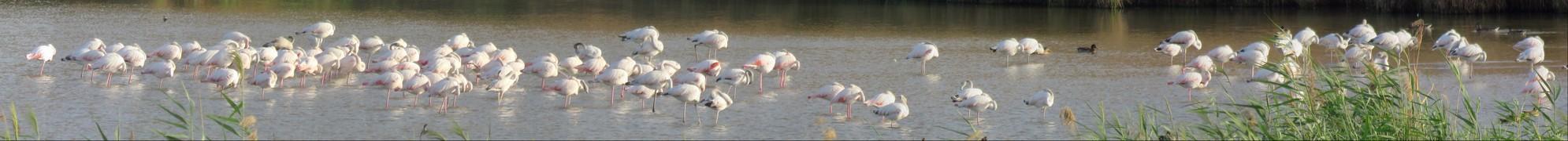 Panorámica de unos 150 flamencos en las lagunas de La Guardia (Toledo)