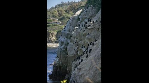 Cormorants nesting on cliff in La Jolla