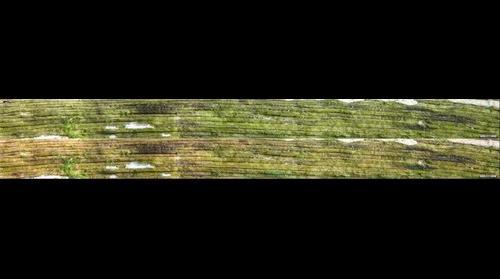 Orbilia cf. octocorculispora (nom. prov.)