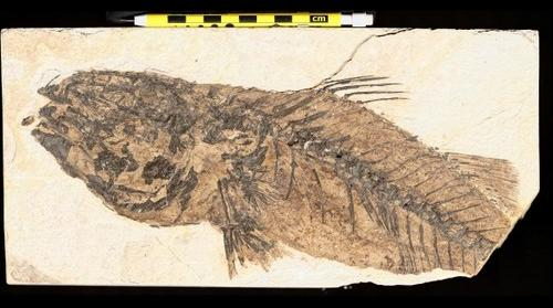 Fish fossil from Green River Formation