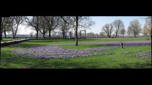 More Crocuses.. Duesseldorf / Germany
