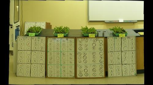 Flashy Trout and Butterhead Oak Lettuce Seedlings Hi Zoom 2.5 weeks