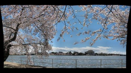 Jefferson Memorial & Cherry Trees