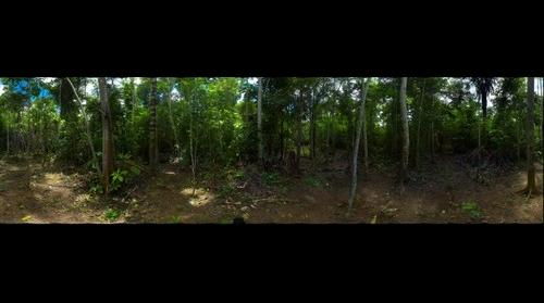 Baboo forest in the Amazon