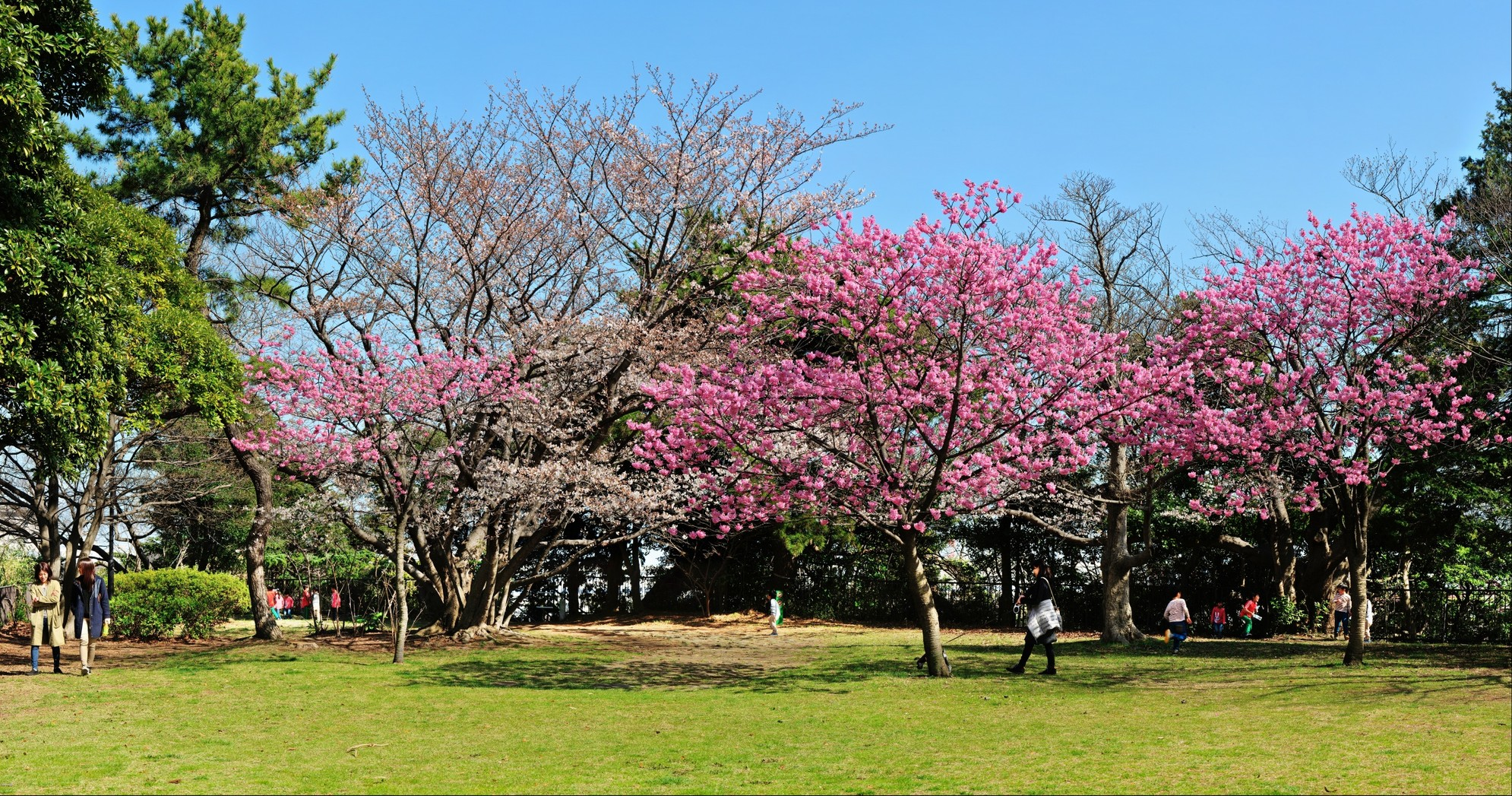 Yokohamahizakura