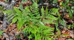 Fern in Crystal River, FL