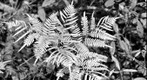 Fern b&w black and white