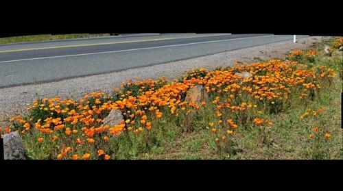 Sonoma Poppy