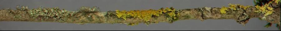 orbilia & lichens.jpg