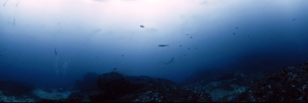 Cocos Island, Cousteau's Seamount 'Alcyone, School of Hammerheads