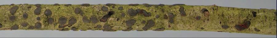 Cosmospora sp on Diatrype bullata (Y-B anaglyph)