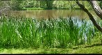 Rushes Beside the Pond