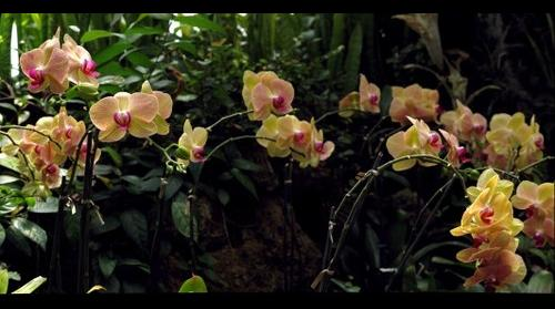 Phalaenopsis Orchids at Phipps Conservatory