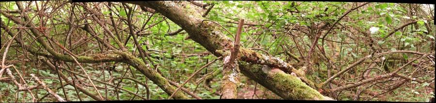 Hypocreopsis lichenoides