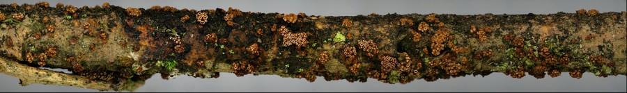 Encoelia fimbriata(2D).jpg