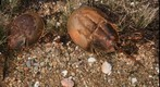 Horseshoe Crab on Menemsha pond, Martha's Vineyard