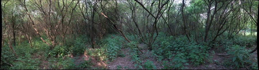 Salix (x) caprea Kockelscheuer #2