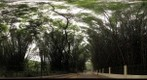 Bamboo grove, Cubbon Park, Bangalore