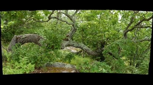 Prostrate White Oak