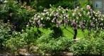 swarthmore rose garden