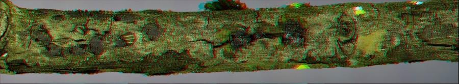 Hyalorbilia erythrostigma 3D (Dubois_A).jpg