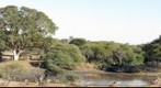 Impalas at the Kruger National Park, South Africa (KPSERIES NO1)