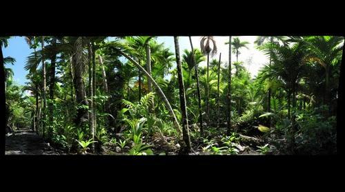 Yap Island Micronesia - Agroforest