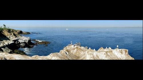 Pelicans, La Jolla Cliffs, La Jolla / San Diego, California