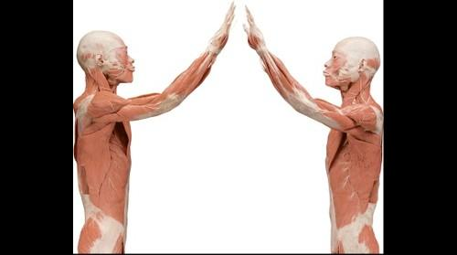 BODIES... the Exhibition - Symmetrical Specimen upper torso