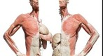 BODIES... the Exhibition - vital organs upper torso